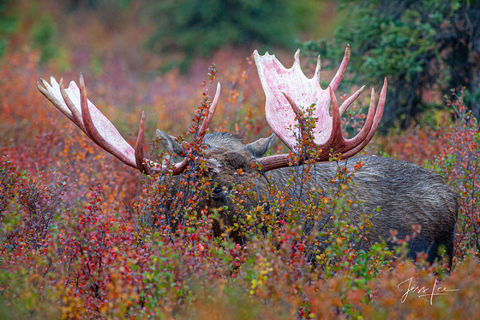 Moose antlers peeking over the cover of brush in Denali National Park
