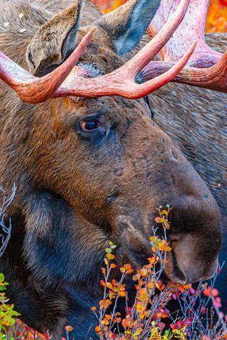 Close up shot of a moose gathering food in Denali