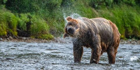 Brown bear shaking off water while fishing at Katmai National Park in Alaska.
