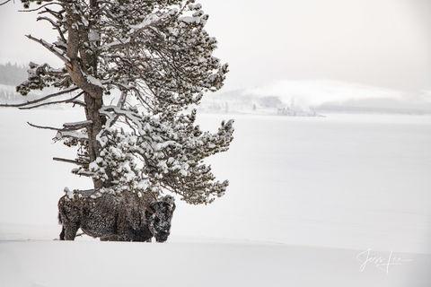 bison seeking shelter under lone tree,