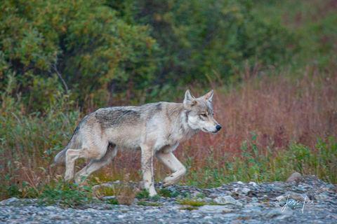 Wolf hunting in Alaskan tundra