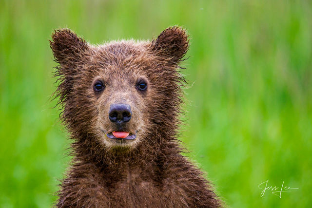 Grizzly Bear Cub cute Photo
