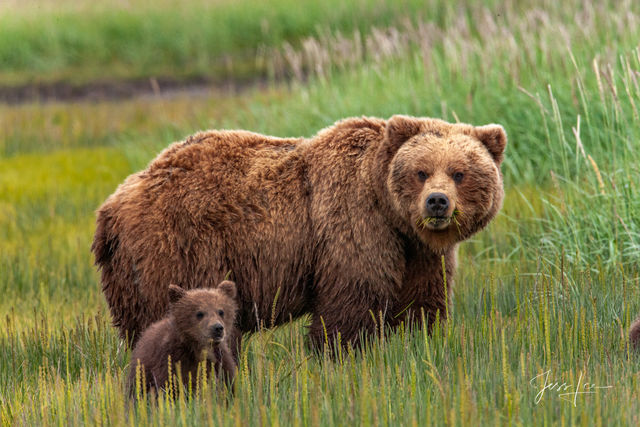 Grizzly Spring Cub  Photo