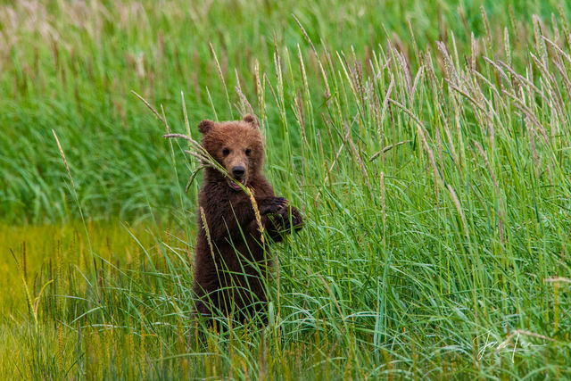 Lone Brown or Grizzly Bear cub Photo