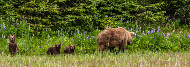 Brown Bear with three cubs Photo