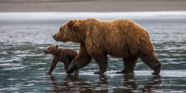 Brown Bear and cub on the coast