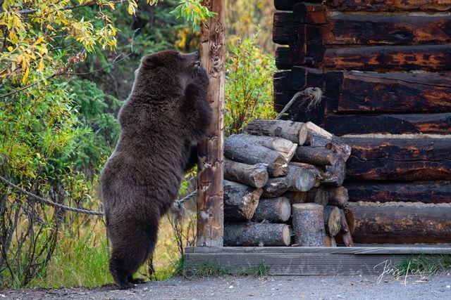Alaska*, bear*, brown bear*, brown bears*, brown*, coastal*, cubs*, grizzlies*, Grizzly*, Jess Lee*, Cooke inlet, legendary photographer*, national park*, sow*, wildlife*, wildlife photographer*, Griz
