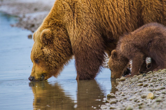 Brown Bear Drinking Photo