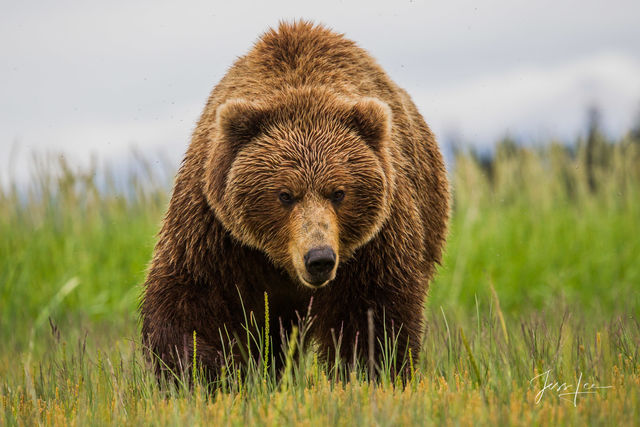 Brown or Grizzly Bear big boy Photo
