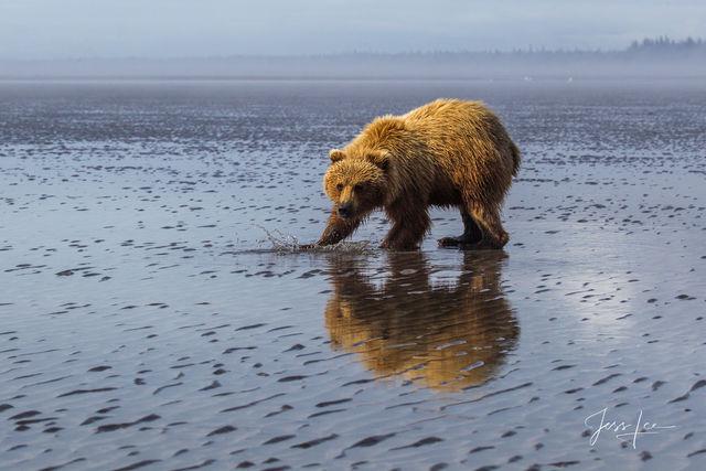 Brown Bear clamming Photo