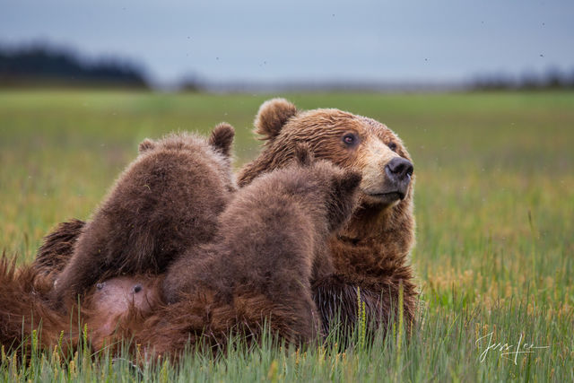Grizzly Bear nursing cubs Photo