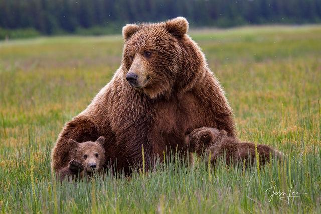 Brown Bear nursing cubs Photo