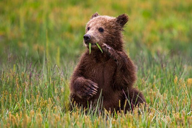 Brown Bear cub waving