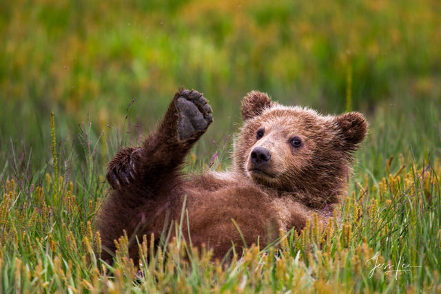 Brown Bear Cub playing with its feet.