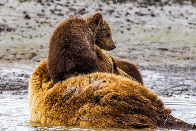 Brown Bear Sitting on Mom