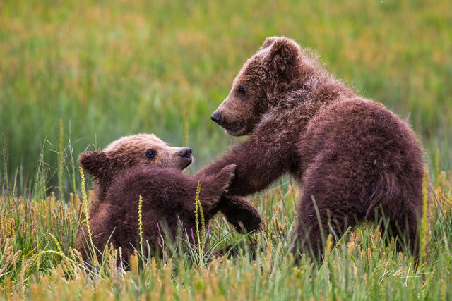 Two Grizzly cubs playing in the tall grass in Alaska.