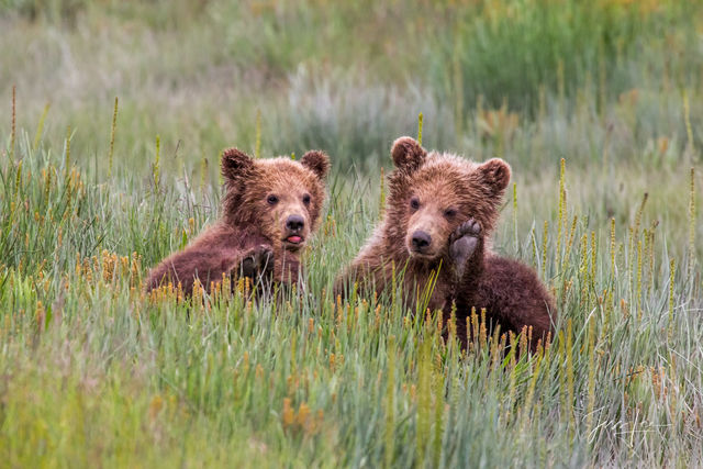 Grizzly Bear Cubs Photo