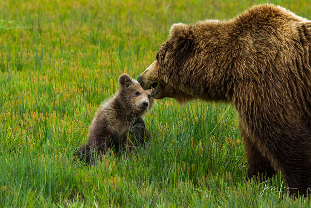 Grizzly Bear Cub looking at mom