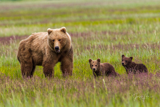 Alaska Brown Bear with two cubs Photo