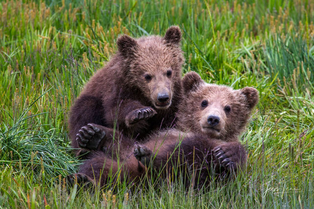 Grizzly Bear Cubs playing Photo
