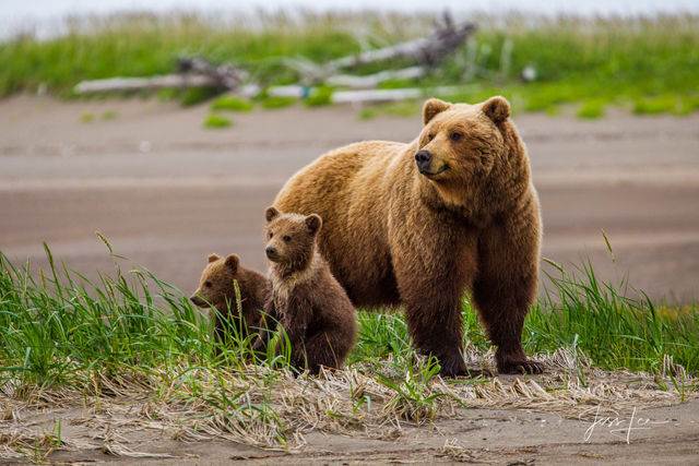 Photo of Alaska grizzly with two cubs being very alert.