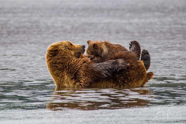 Brown Bear nursing Photo