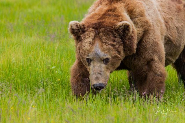 Males Brown Bear Photo