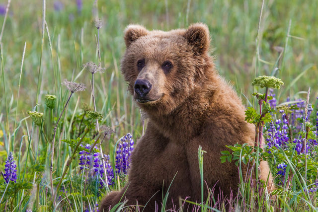 Brown Bear in Lupines Photo