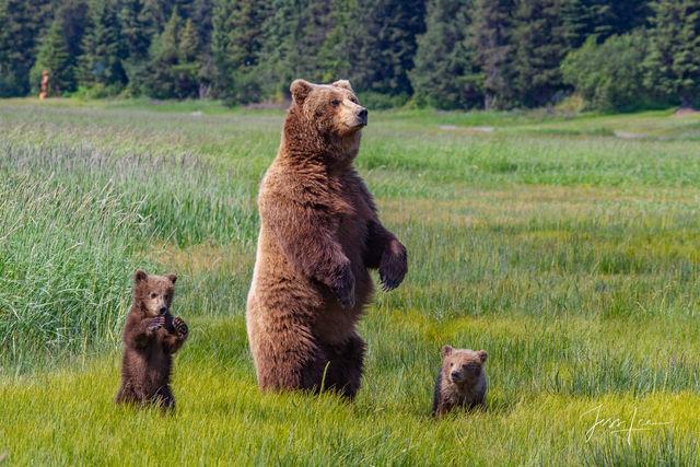Brown Bear Standing Photo