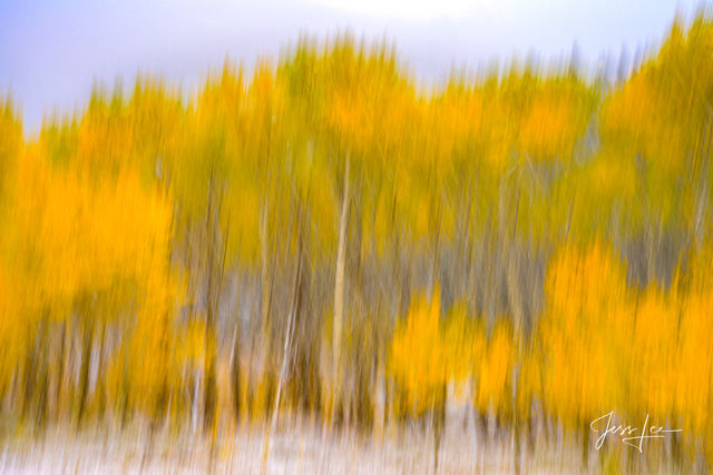 Abstract Photography of Autumn Aspen Trees.