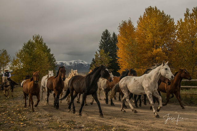 photo of horse herd in Wyoming, western photography, ranch work, farm, equine, horses running, cowboys, cowgirl, horseback riding, National Parks, Grand Tetons, autumn colors, fall, trees, mountain, l