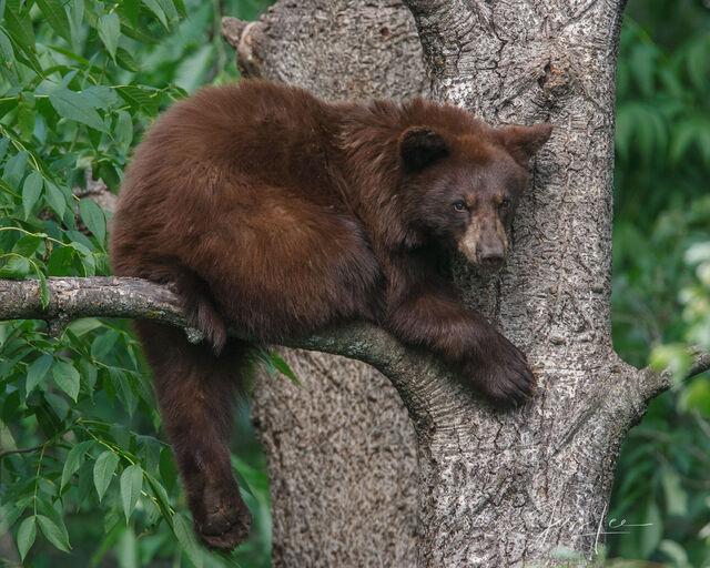 A Little Grumpy Black Bear Photo