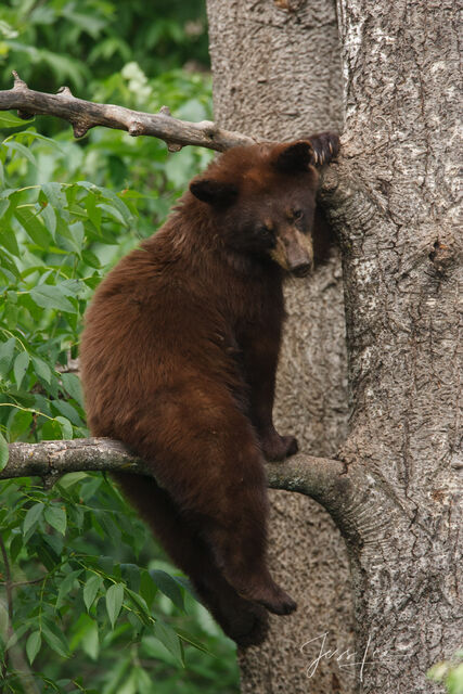 Black Bears Photos | Cubs playing in trees