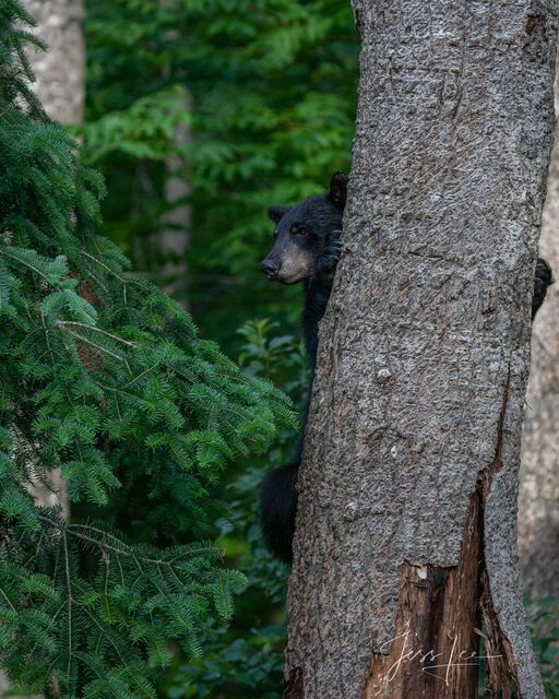 Peeking Black Bear Picture