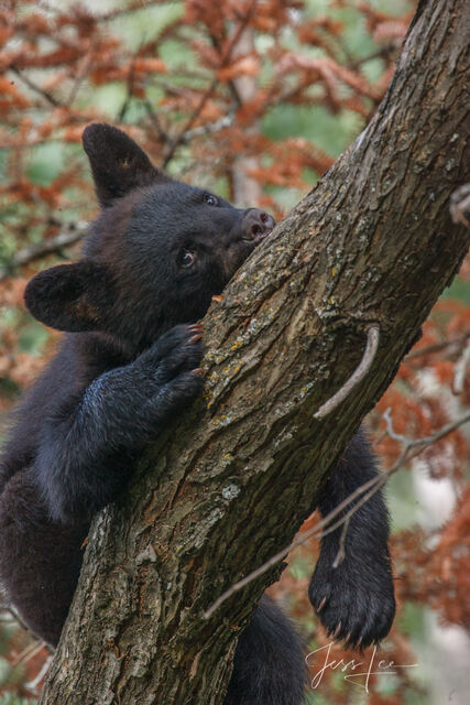 Black Bear Sleeping in a Tree Photo  Limited Edition Picture