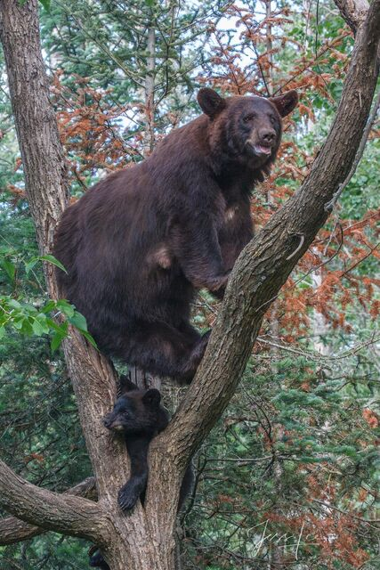 Black Bear and cub Photo  Limited to 100