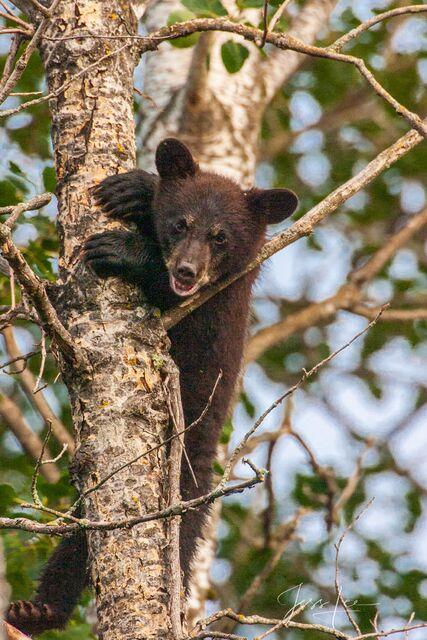 Black Bear treed