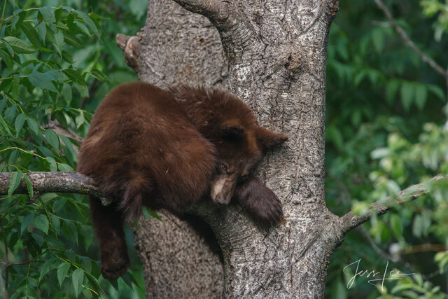 Black Bear sleepy Limited Edition Picture