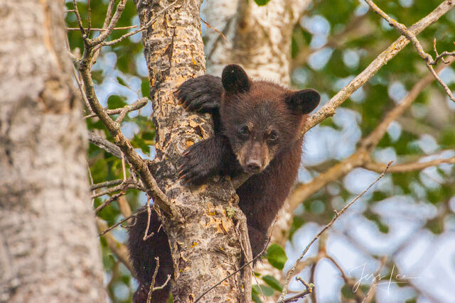 Tree hugger Black Bear Limited Edition Picture