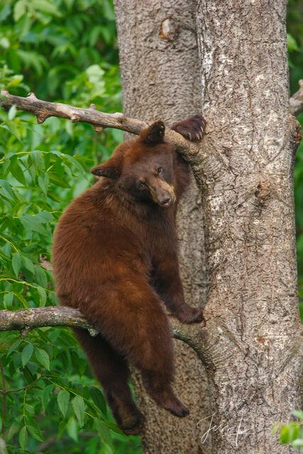 Black bear, Ursus americanus, North America , Picture