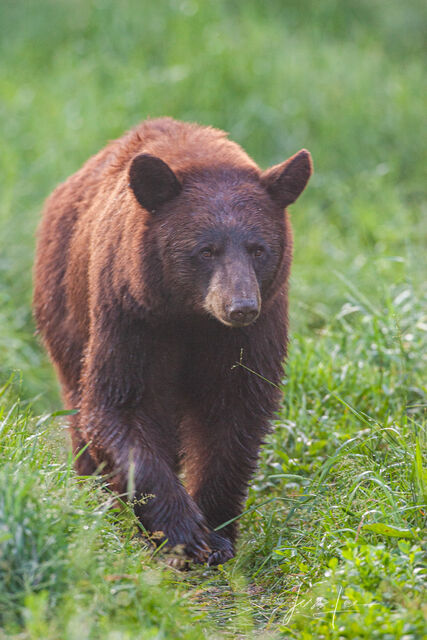 Black bear, Ursus americanus, North America, Picture