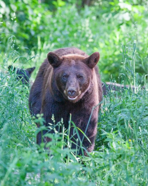 Brown Black Bear Photo  Limited Edition Picture