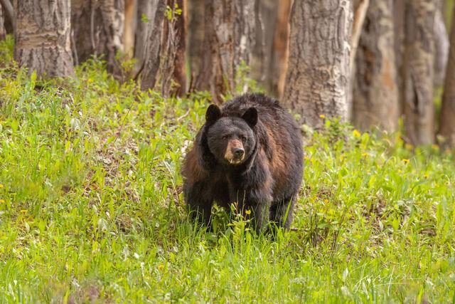 Black Bear Limited Edition  Fine ArtPicture