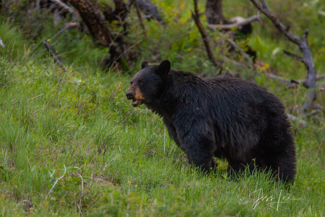 Black Bear Photos  Limited Edition Pictures