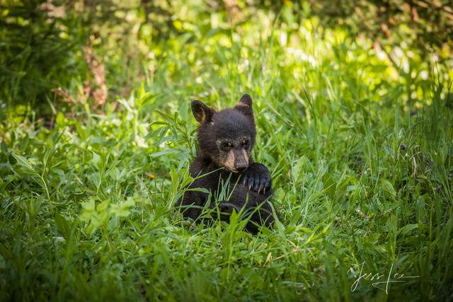 Black Bear Cubby Fine Art Photo