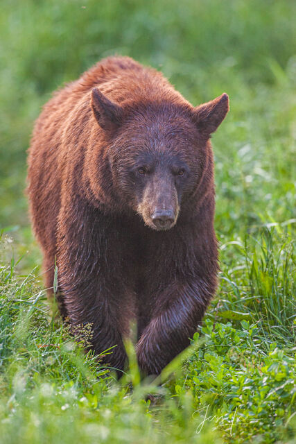 Black Bear Photo  Limited Edition Print