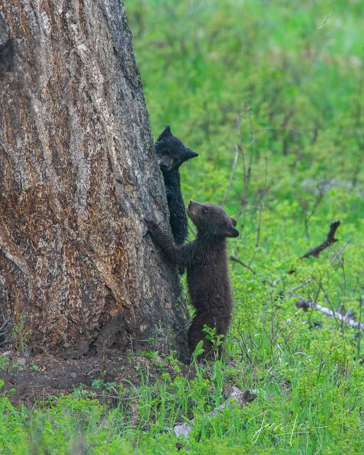 Black Bear cubs in tree Picture