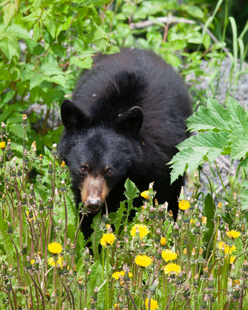 Black Bear in flowers Picture