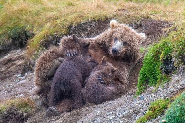 cubs, sow, mother, Katmai, bears, , Bear, grizzly, fishing, salmon, Grizzly Bear Photograph, Grizzly bear picture, Grizzly bear print