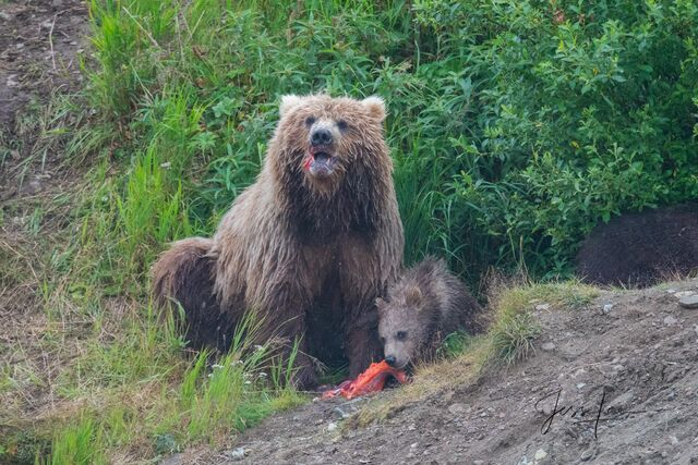 Picture of Grizzly with salmon